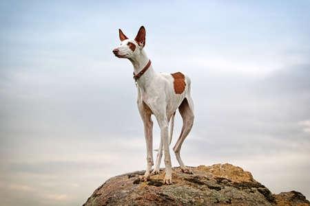 dog rock: Ibizan Hound dog stand on a rock