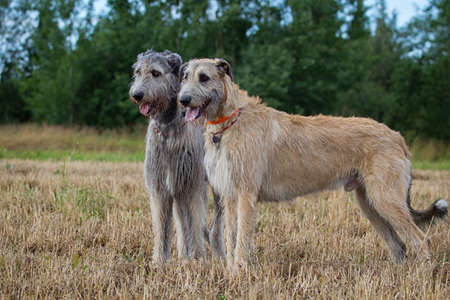 Two irish wolfhounds dogs at field