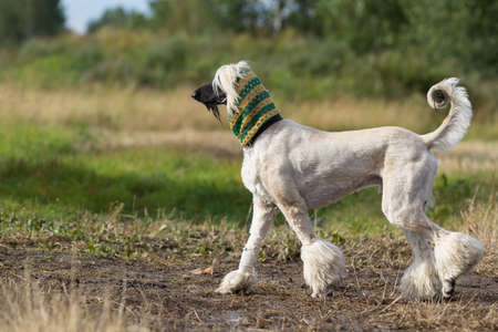 Afghan Hound dog in crochet scarf photo