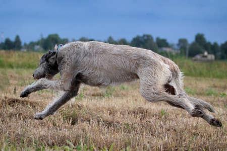 irish wolfhound dog run in field photo