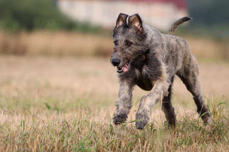 irish wolfhound dog run in field