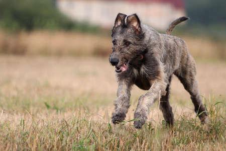 Irský vlkodav pes běží v poli