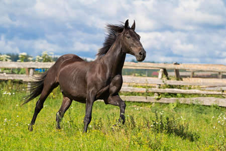 black horse: Carrera de caballos Negro