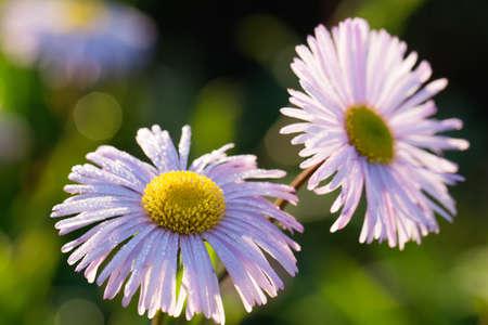 dewdrop: liliac chamomile flower with dewdrop at morning