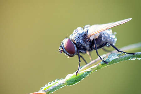 dewdrops: Fly sit on grass with dewdrops