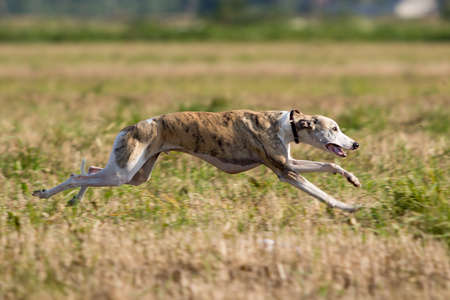 Whippet dog run in field