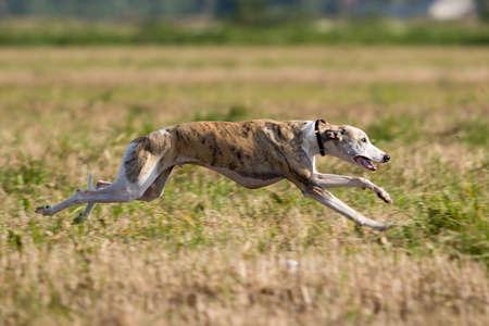 Ohař pes dráha v poli