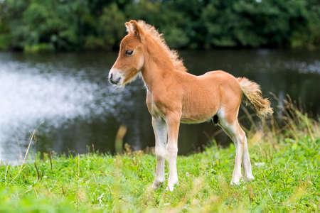 foal mini horse Falabella Banque d'images
