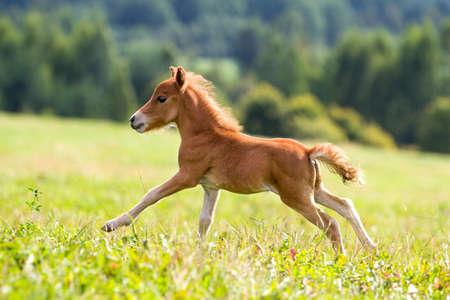 foal mini horse Falabella Stock Photo