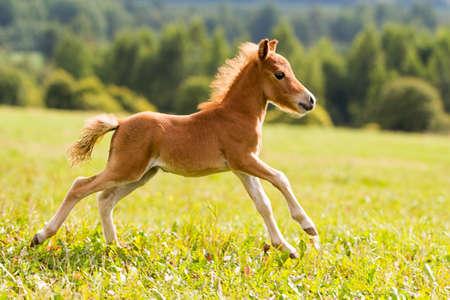yegua: Mini potro caballo Falabella