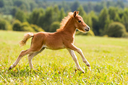 poulain mini-cheval Falabella