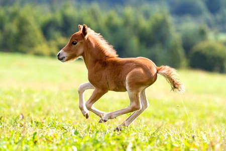 foal mini horse Falabella 写真素材