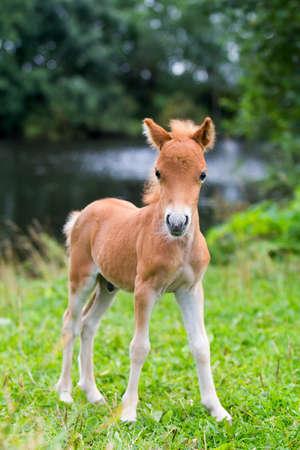 mare and foal: foal mini horse Falabella Stock Photo