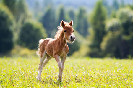 foal mini horse Falabella Stock Photo