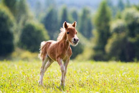 merrie: veulen mini paard Falabella