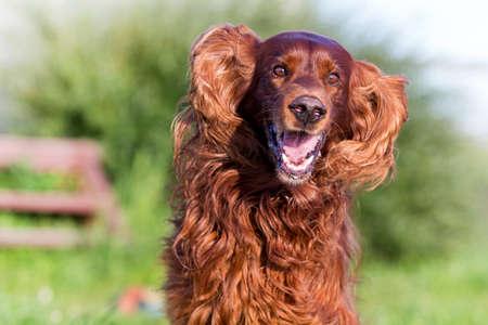 Red irish setter dog fun Reklamní fotografie