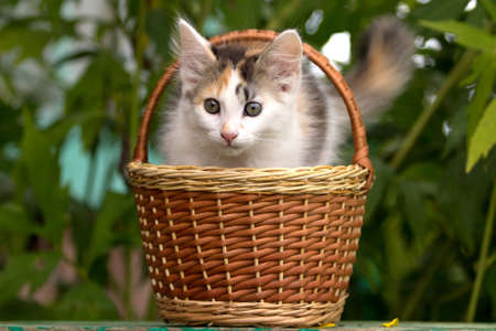 tricolor kitten in wicker basket photo