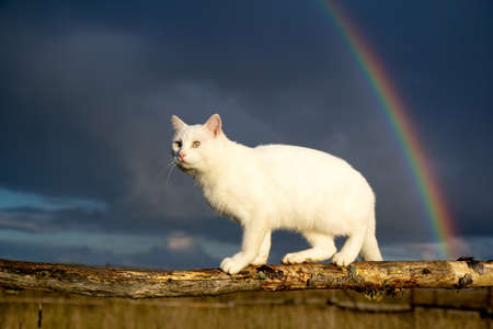 white cat and rainbow photo