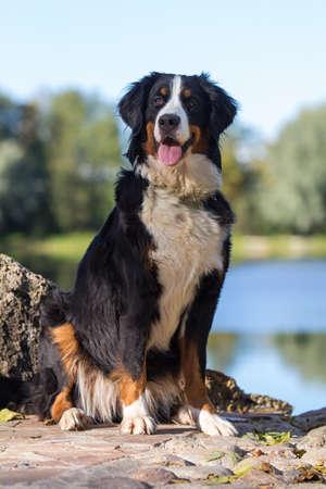 Bernský salašnický pes portrét Reklamní fotografie
