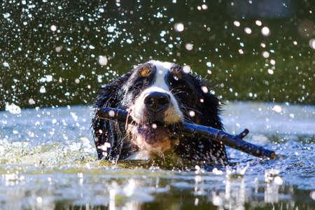 Bernese Mountain Dog swim with stick photo