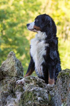 dog rock: Bernese Mountain Dog on rock