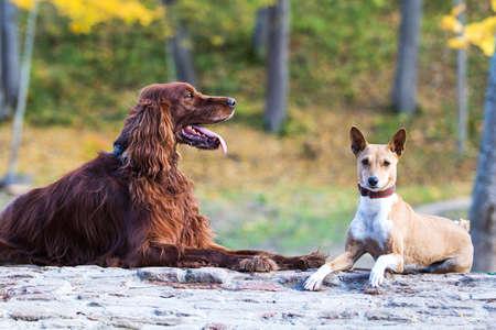 Basenjis a Irský setr psi v parku na podzim