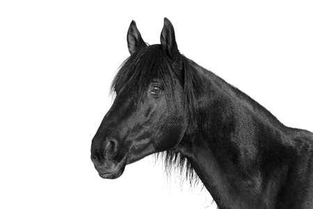 trakehner: Trakehner stallion horse black and white portrait