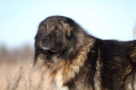 caucasian shepherd: Caucasian Shepherd dog in autumn field