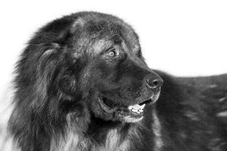 caucasian shepherd: Caucasian Shepherd dog black and white portrait Stock Photo
