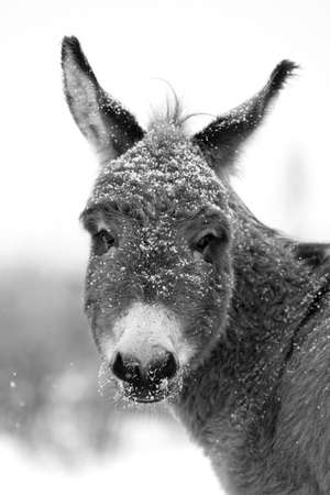 black and white winter donkey Archivio Fotografico