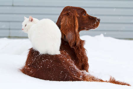 setter: Red irish setter dog and white cat in snow