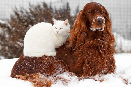 Red irish setter dog and white cat in snow