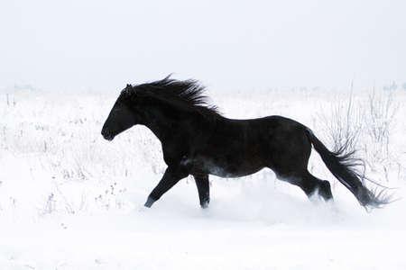Trakehner černý hřebec běží v sněhovým polem
