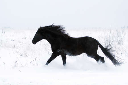 Trakehner black stallion run in snow field Archivio Fotografico
