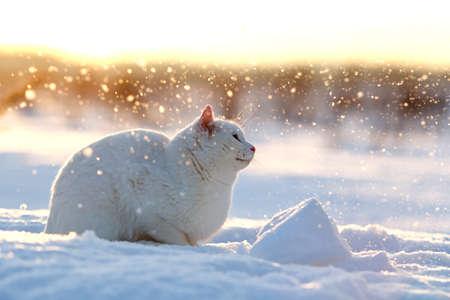 Bílá kočka v sněhovým polem