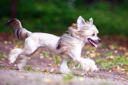 Čínský chocholatý pes v parku