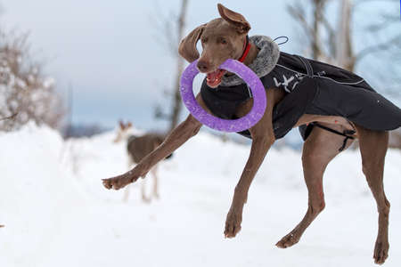 frisbee: Weimaraner dog play with frisbee Stock Photo