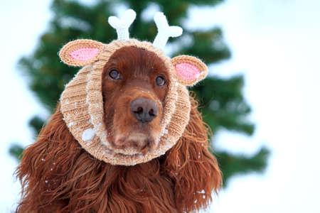 irish christmas: Red irish setter dog with knitting horns
