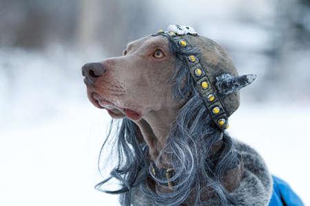 Weimaraner dog in viking wig