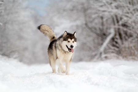 Malamut pes v zimě