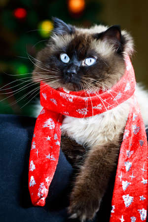 colourpoint cat photo
