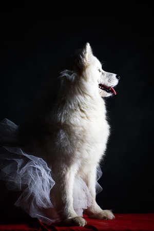 animal tutu: Samoyed dog Stock Photo
