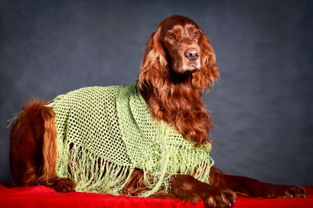 Red irish setter dog photo