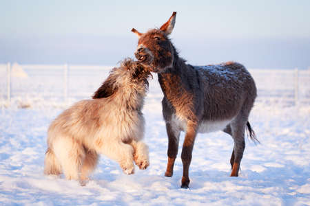 Grey donkey and briard dog