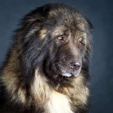 caucasian shepherd: Grey Caucasian Shepherd Dog