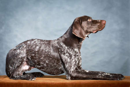 shorthaired: German shorthaired pointer dog