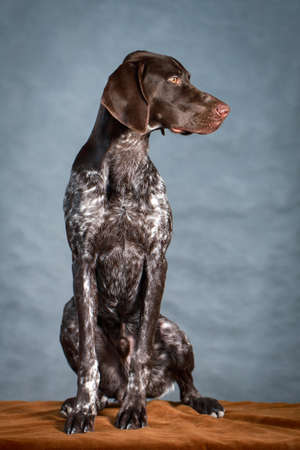German shorthaired pointer dog photo