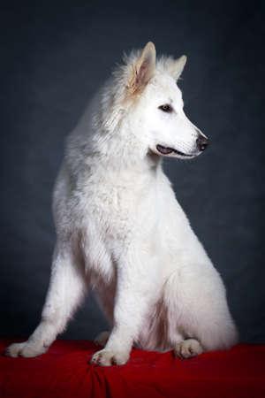 berger: Berger Blanc Suisse Shepherd dog
