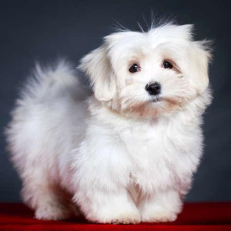 Bílé štěně maltézáčka