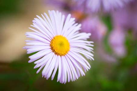 chamomile flower: lilac chamomile flower Stock Photo